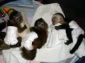 bébés singes et les bébés chimpanzés