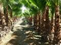 Palmiers Washingtonian