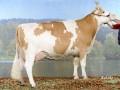 vaches laitiere Holstein et simmental