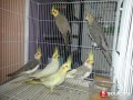 Oiseaux-calopsitte